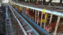 Peternak Ayam di Lamongan Menjerit Imbas Harga Pakan Melambung
