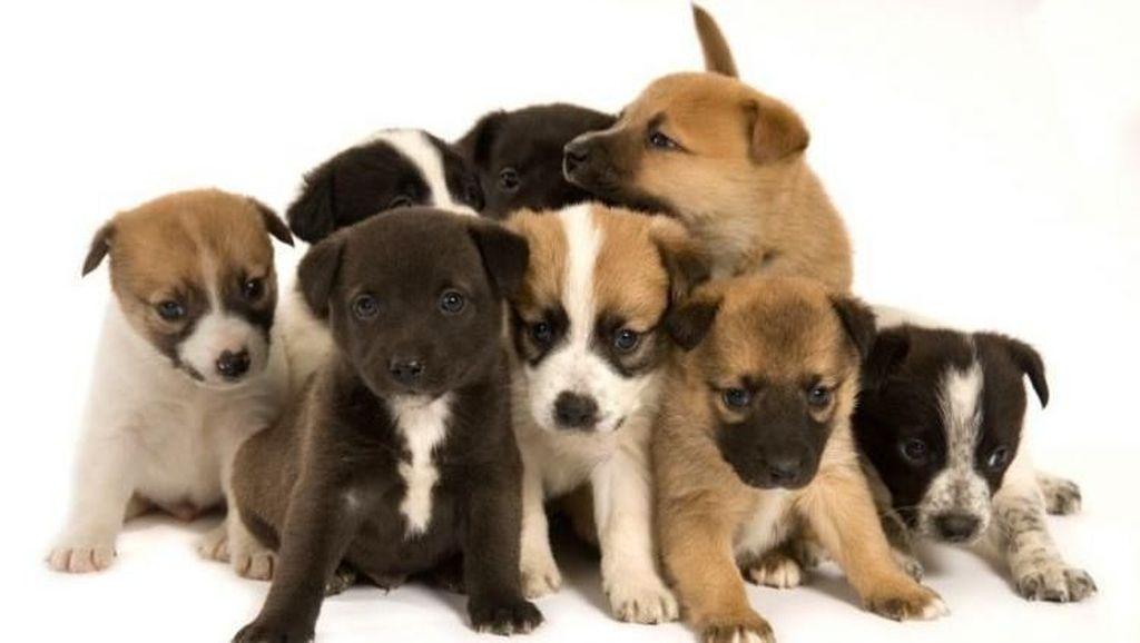 Pemerintah Desa Sanur Juga Larang Jual-beli Daging Anjing