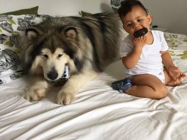 Anjing Alaskan Malamute juga bisa jadi sahabat lho buat anak-anak. (Foto: Instagram/amarokmalamute)