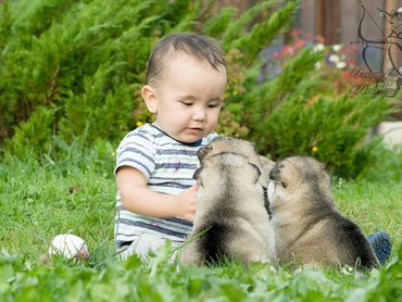 Nah, kalau ini saat si kecil main dengan Alaskan Malamute versi anak-anak juga, Bun. Nggemesin banget. (Foto: Instagram/angelsofalaska)