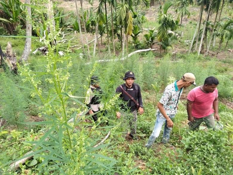 4 Sindikat Pengedar Ganja Ditangkap, 1 Hektare Ladang Dimusnahkan