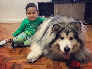 Senyum lebar seorang anak pada anjing Alaskan Malamute-nya menunjukkan betapa besar rasa sayang dia pada si anjing. (Foto: Instagram/amarokmalamute)