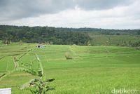 10 Wisata Sawah, Cocok untuk Ngabuburit