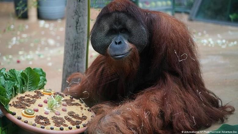 Orangutan Terakhir di Jerman Pindah ke New Orleans