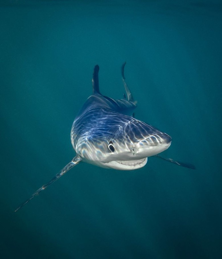 19+ Gambar hewan ikan hiu terupdate