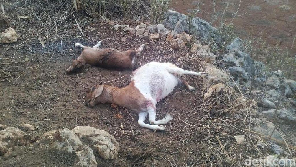 Kata Dinas Pertanian Soal Kambing Mati Misterius di Gunungkidul