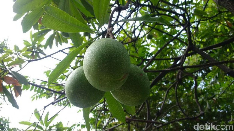 Ini Bahaya Pohon Bintaro yang Tumbuh di Kantor Ridwan Kamil