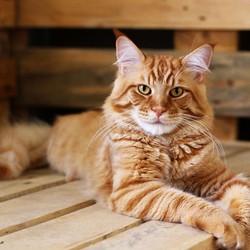 5 Ras Kucing yang Cocok Dipelihara Anak