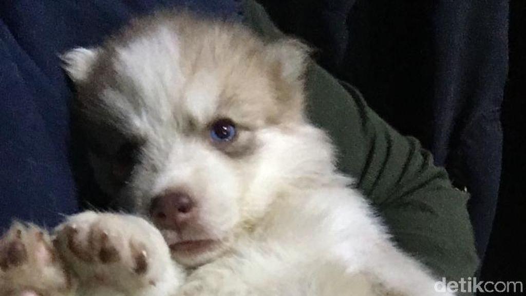 Lucunya Siberian Husky Sebelum Mati Berujung Gugatan ke Dokter