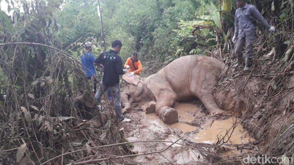 Gajah Amirah yang Kena Jebakan Jerat di Aceh Mati