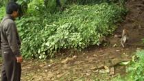 Kekurangan Makanan, Kawanan Monyet Masuk Pemukiman di Brebes