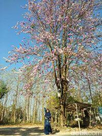 Tak Perlu ke Jepang, Jalan-jalan Lihat Pohon Sakura Juga Bisa di Lamongan