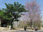 Tak Perlu ke Jepang, Menikmati Pohon Sakura Juga Bisa di Lamongan