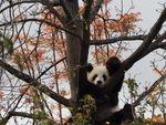 Panda di Kebun Binatang Adelaide Disuguhi Video Porno