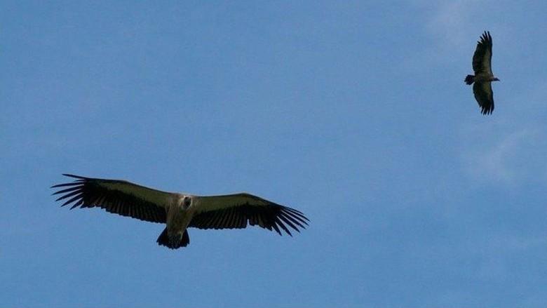 Perjuangan Menyelamatkan Burung Nasar Afrika