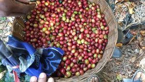 44.400 Kg Kopi Arabika Made in Situbondo Diekspor Perdana ke AS