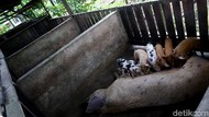 Ancaman Flu Babi Afrika Bikin Peternak Rugi di Kala Pandemi