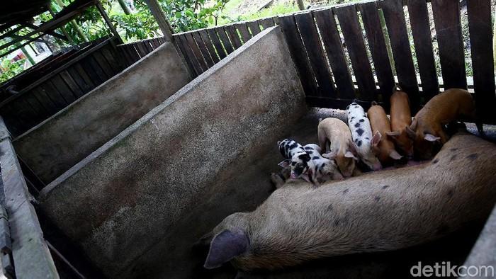 Potret Peternakan Babi di Jayapura
