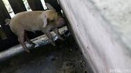 Puluhan Babi Mati di Tapanuli Utara Sumut, Ini Penyebabnya