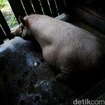 Produksi Daging Babi China Terganggu, Dampaknya ke Seluruh Dunia