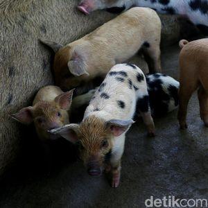Ternak Babi Bikin Orang China Kaya Raya, Kalau di RI?