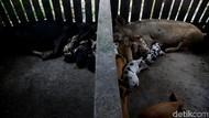 Pemkab Gianyar Beli 525 Ekor Babi dari 11 Wilayah Diduga Terdampak Virus