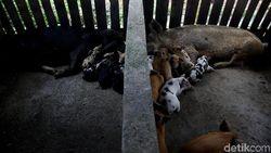 Kok Bisa Peternak Babi Jadi Orang Terkaya di China?