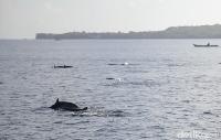 Lumba-lumba yang muncul ke permukaan (Zaky Fauzi/detikTravel)