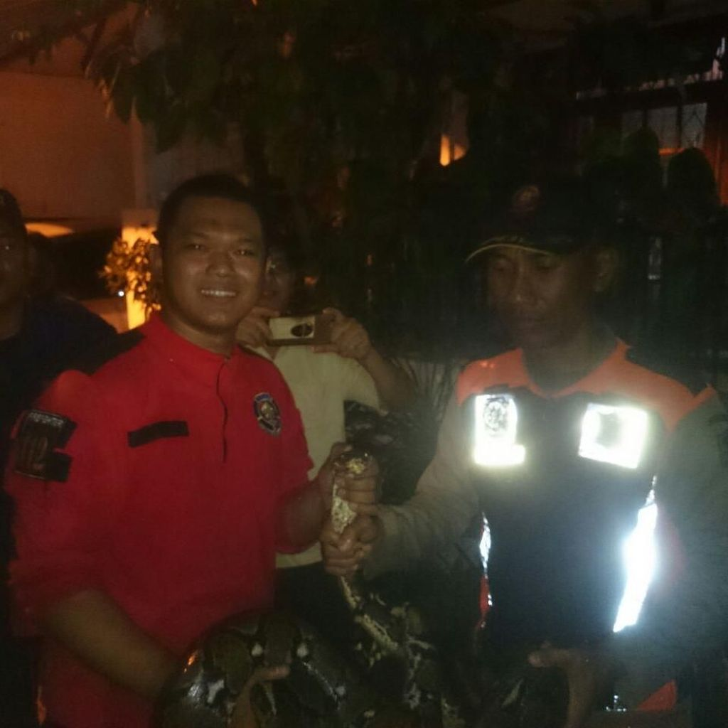 Ular Sanca yang Resahkan Warga Surabaya Sejak Juli Akhirnya Tertangkap