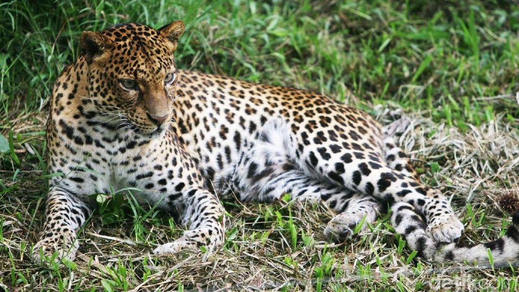 Waspada! Hutan Lindung Gunung Lawu Memang Habitat Macan Tutul