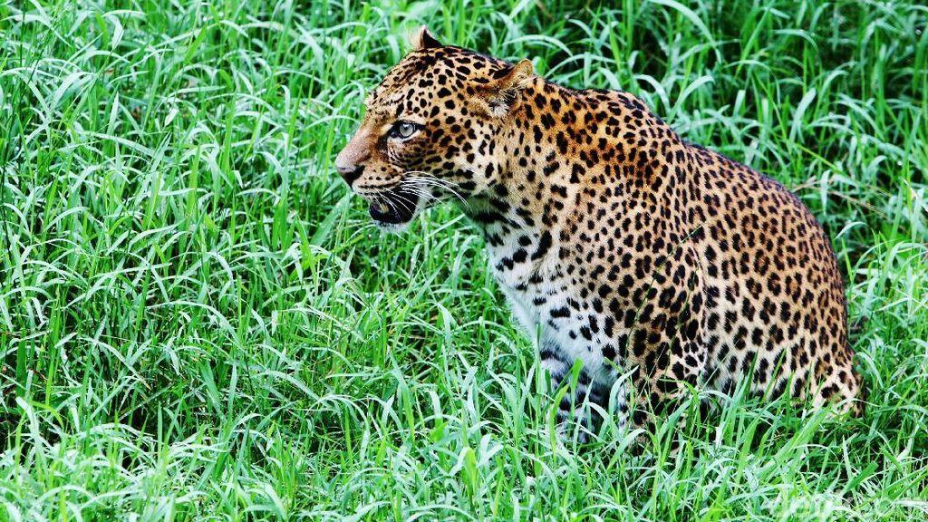 Meskipun Serang Ternak, Membunuh Macan Tutul Bisa Dipidanakan