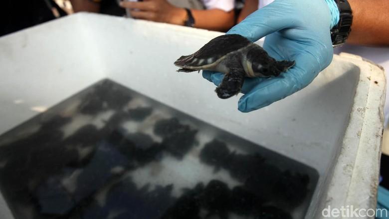 Penyelundupan 5.050 Kura-kura Moncong Babi Digagalkan di Papua