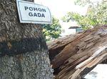 Mitos Warga, Pohon Gada Terbelah Dikaitkan dengan Pergantian Presiden