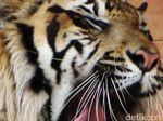 Turun ke Perkampungan di Aceh, 2 Harimau Makan Kerbau Warga