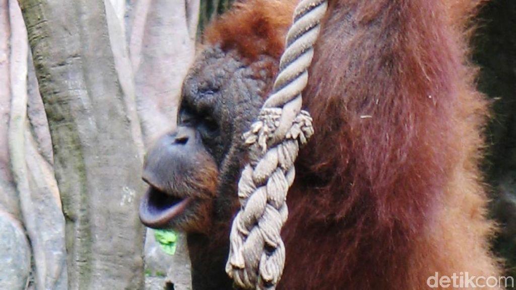 Orangutan Kalimantan Rayakan Ulang Tahun Emas di Paris