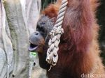 Orangutan Ditemukan Tinggal Tulang di Karo Sumut