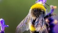 Perjuangan Lebah Bertahan dari Kepunahan