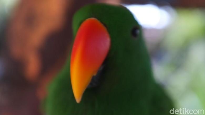 Burung Paruh Bengkok ( Nuri, Betet, Kakaktua)