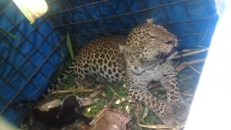 Bksda Ciamis Segera Evakuasi Macan Tutul Yang Ditangkap Warga