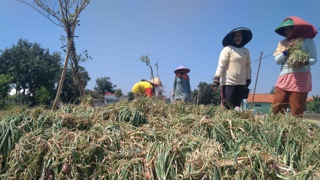 Petani Rugi Harga Bawang Merah Anjlok hingga Rp 5.000/Kg
