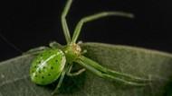 Sebanyak 37 Spesies Laba-laba Baru Ditemukan di Australia