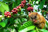 Sulawesi Tengah Juga Punya Kopi yang Nikmat, Termasuk dari Donggala
