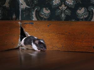 Tips Jitu Cara Mengusir Tikus di Rumah