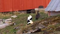 Pada akhir musim panas, warga itu akan mengumpulkan dan membersihkan bulu-bulu bebek itu. Jumlahnya cukup untuk membuat selusin lebih selimut yang terbilang mewah (Arne Naevra and Torgeir Beck Lande/BBC Travel)