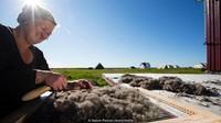 Eiderdown (bulu bebek) adalah isi utama bagi selimut tidur. Tidak seperti bulu angsa biasanya yang padat dan bulu bebek memiliki serat mikroskopis yang melekat dan membentuk ruang udara, hingga aliran udara selimut berjalan lancar namun sangat ringan (Nature Picture Library/Alamy/BBC Travel)