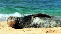 Gemas, Singa Laut Juga Bisa Membajak Kapal