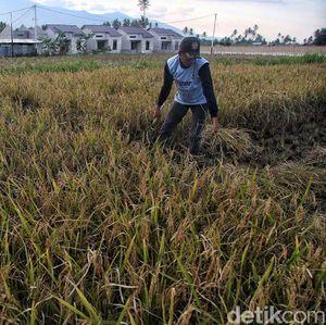 Kementan Klaim Selama 4 Tahun Ada Perbaikan Kesejahteraan Petani