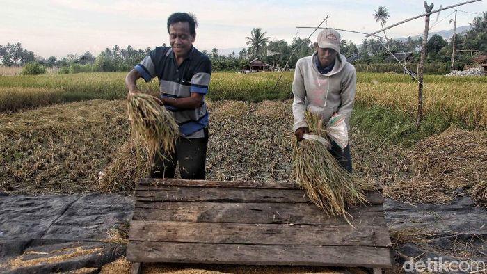 Ilustrasi panen padi/Foto: Pradita Utama