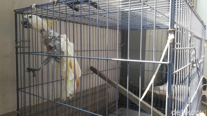 Burung Kakak Tua Jambul Kuning sakit/Foto: Yakub Mulyono