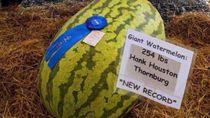 Wouw! Semangka Seberat 115 Kilogram Berhasil Pecahkan Rekor Baru